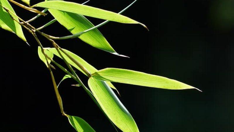 Bambuss Blatt Extrakt-